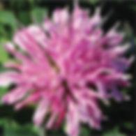 Monarda d. Grand Mum - Bee Balm.jpg