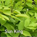 Aralia Sun King - Spikenard.