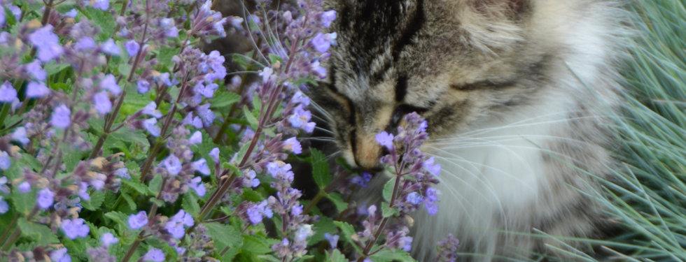 Nepeta f. Purrsian Blue - Catmint.jpeg