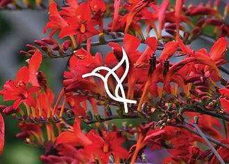Perennials for Hummingbirds - Crocosmia