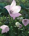 Platycodon Astra Pink - Balloon Flower