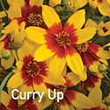 Coreopsis Curry Up - Tickseed.