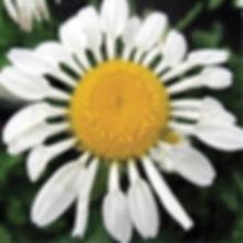Leucanthemum Silver Spoons - Shasta Dais