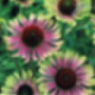 Echinacea p. Green Twister - Coneflower.