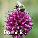 Allium s. Drumstick - Ornamental Onion.j