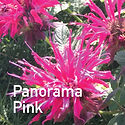 Monarda Panorama Pink - Bee Balm