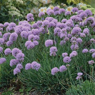 Allium s. Blue Eddy.jpg