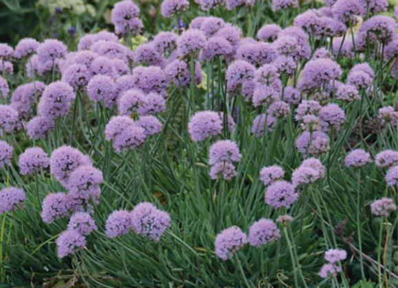 Allium s. 'Blue Eddy'