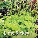 Heuchera Lime Rickey - Coral Bells