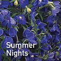 Delphinium Summer Nights - Perennial Larkspur