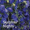 Delphinium g. Summer Nights - Larkspur