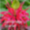 Monarda d. Cambridge Scarlet - Bee Balm
