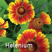 Helenium Salud Embers - Sneezeweed