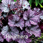 Heuchera Northern Exposure Purple - Coral Bells.
