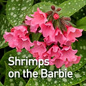 Pulmonaria Shrimps on the Barbie - Lungw