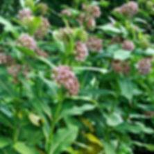 Asclepias syriaca - Milkweed