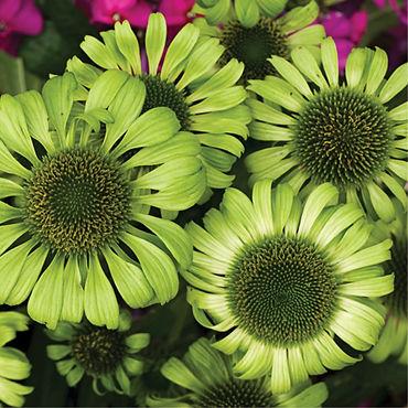 Echinacea p. Green Jewel - Coneflower.jp