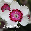 Dianthus Arctic Fire - Pinks