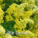 Solidago Little Lemon - Goldenrod