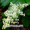Maianthemum racemosum - Solomon's Plume.