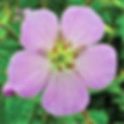 Geranum maculatum - Wild Geranium.