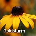 Rudbeckia f. Goldsturm - Black-Eyed Susa