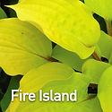 Hosta Fire Island.jpeg