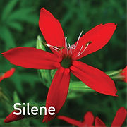 Silene regia - Royal Catch Fly