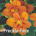 Belamcanda c. Freckle Face - Blackberry