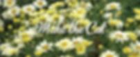 Leucanthemum Banana Cream