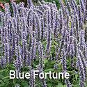 Agastache Blue Fortune - Anise Hyssop