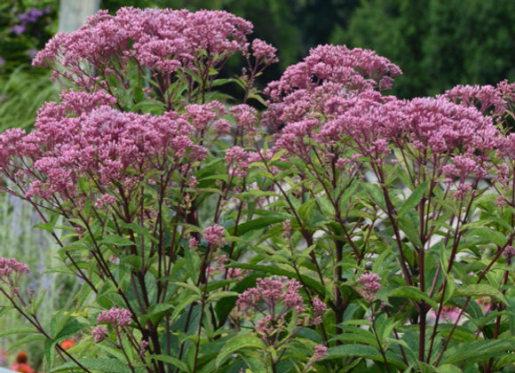 Eupatorium d. 'Baby Joe'