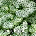 Brunnera m. Jack Frost - Bugloss.jpeg