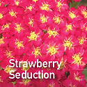 Achillea Strawberry Seduction - Yarrow