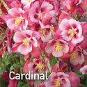 Aquileia Songbird Cardinal - Columbine