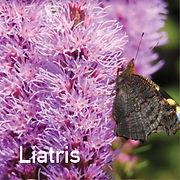 Liatris spicata - Blazing Star