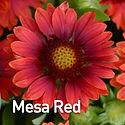 Gaillardia g. Mesa Red - Blanket Flower.