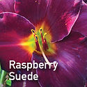 Daylily Raspberry Suede