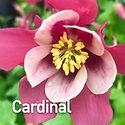 Aquilegia c. Songbird Cardinal - Columbi