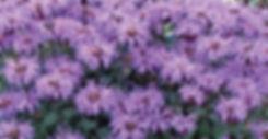 Monarda Blue Moon - Bee Balm
