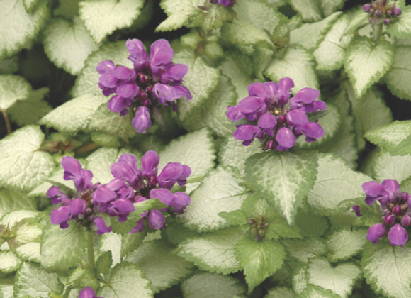 Lamium m. 'Purple Dragon'