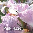 Siberian Iris Pink Haze