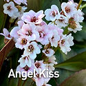 Bergenia c. Angel Kiss - Pigsqueak.jpeg