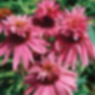 Echinacea p. Double Decker - Coneflower.