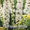 Liatris Floristan White - Blazing Star