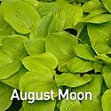 Hosta August Moon.jpeg