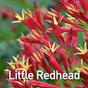 Spigelia Little Redhead - Indian Pinks.j