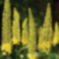 Eremurus bungei - Foxtail Lily.jpg
