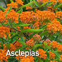 Asclepias tuberosa - Butterfly Weed.jpeg