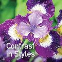 Siberian Iris Contrast in Styles.